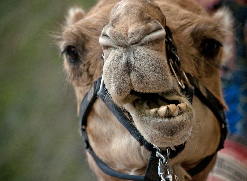 El concurso tiene reglas estrictas que prohíben cualquier tipo de infiltración en la boca de los animales